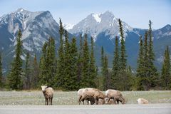 Mountain goats on side of road Stock Images