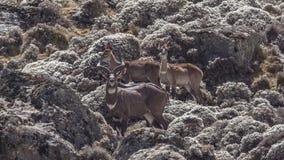 Flock of Mountain Nyala in Mountain. Flock of Mountain Nyala, Tragelaphus buxtoni, is walking among rocks at Bale Mountains, Ethiopia royalty free stock photo