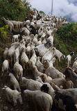 Flock of mountaingoats Stock Photos