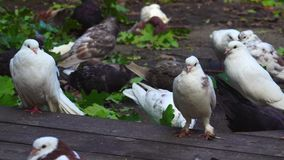 A flock of multicolored domestic pigeons sits on a wooden platform. Pigeons ate and now sit and clean feathers. stock video