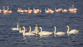 Flock of Mute Swans and Greater Flamingos Royalty Free Stock Images