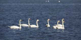 Flock of Mute Swans Royalty Free Stock Images