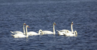 Flock of Mute Swans Stock Images