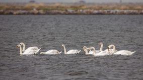 Flock of Mute Swans Swimming and Feeding Royalty Free Stock Images