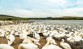 Flock of Mute Swans. Waiting to be fed Royalty Free Stock Photo