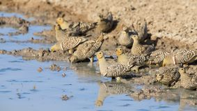 Flock of Namaqua Sandgrouse drinks water from a waterhole in Kal Stock Image