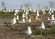 Flock of Nesting Seagulls Royalty Free Stock Photos