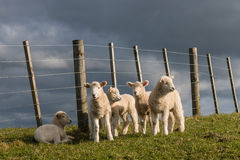 Flock of newborn lambs Royalty Free Stock Images
