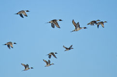 Flock of Northern Pintails Flying in Blue Sky Royalty Free Stock Photo