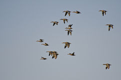 Flock of Northern Shovelers Royalty Free Stock Image