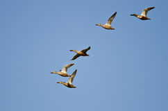 Flock of Northern Shovelers Flying in a Blue Sky Royalty Free Stock Photos