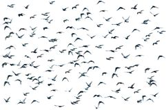 Flock Of Birds, Isolated Royalty Free Stock Images