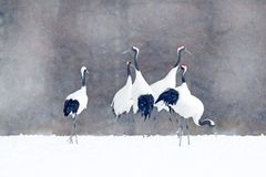 Free Flock Of Cranes With Snow Flakes, Japan Winter. Dancing Pair Of Red-crowned Crane With Open Wing In Flight, With Snow Storm, Hokka Stock Images - 110442214