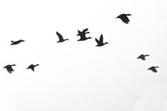 Free Flock Of Ducks Silhouetted On A White Background Royalty Free Stock Image - 50967946