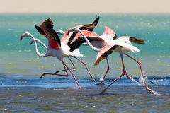 Flock Of Flamingos Taking Off From Lagoon To Fly Away Stock Image