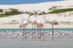 Flock Of Flamingos Wading In Shallow Lagoon Water Stock Photo