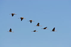 Flock Of Geese Stock Photos
