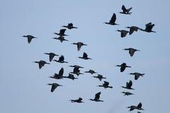 Flock Of Great Cormorant In Flight Royalty Free Stock Image