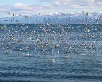Flock Of Gulls On The Bay Royalty Free Stock Photography