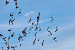 Free Flock Of Pigeons Are Flying Stock Image - 92114251