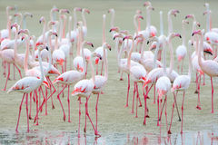 Free Flock Of Pink Flamingos On The Sand. Royalty Free Stock Image - 96607596