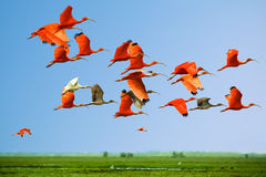 Flock Of Scarlet And White Ibises In Flight Above Green Meadow With Blue Sky Background (flying Birds) Stock Image