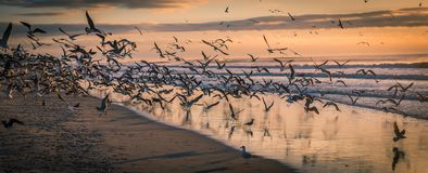 Flock Of Seagulls At Beach At Sunset Stock Image