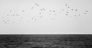 Flock Of Seagulls Flying Over The Sea In Black And White Stock Image