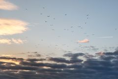 Free Flock Of Seagulls In Flight At Sunset Stock Images - 110751324