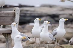 Free Flock Of Seagulls Near A Bench Looking For Food Stock Image - 128529601
