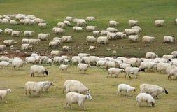 Free Flock Of Sheep Stock Photo - 32561980