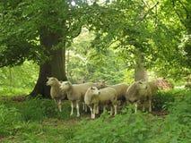Free Flock Of Sheep Royalty Free Stock Photos - 8339148