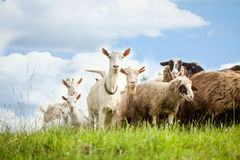 Flock Of Sheep And Goat On Pasture In Nature Royalty Free Stock Photo