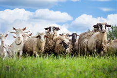 Flock Of Sheep And Goat On Pasture In Nature Royalty Free Stock Photography