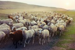 Free Flock Of Sheep Grazing At Sunset Stock Photo - 106236500