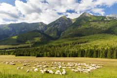 Flock Of Sheep In Belianske Tatras Mountains, Slovakia Stock Images