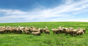Free Flock Of Sheep In Pasture And Blue Sky Stock Image - 35302251