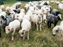 Free Flock Of Sheep In The Pasture In The Mountains Royalty Free Stock Photos - 154894298
