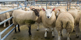 Flock Of Sheep Mixed With Goats Royalty Free Stock Image