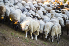 Free Flock Of Sheep On Hillside Royalty Free Stock Photography - 3780697