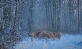 Flock Of Sheep Walking Trogh The Woods Stock Images