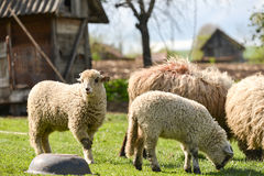 Free Flock Of Sheeps At Farm Eating Fresh Grass In The Spring Stock Images - 58184594