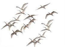 Flock Of Spoonbills Flying In Winter Morning Royalty Free Stock Image