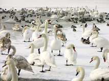 Free Flock Of Swans And Ducks Royalty Free Stock Photography - 702707