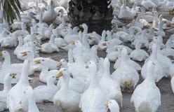 Free Flock Of White Ducks At The Farm. Stock Photo - 185438220
