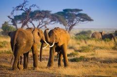 Flock om elefanter i den Amboseli nationalparken royaltyfri foto