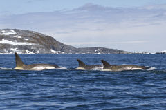 Flock orcas or killer whales swimming Royalty Free Stock Image