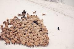 Flock os sheep Stock Photos