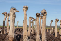 Flock of ostriches Stock Images