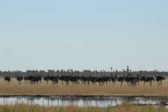 Flock of ostriches Royalty Free Stock Image